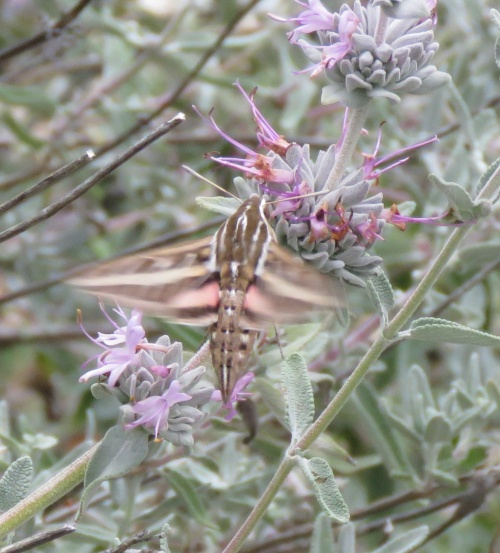 White-line sphinx moth hummingbird Santa Cruz Trail Los Padres National Forest
