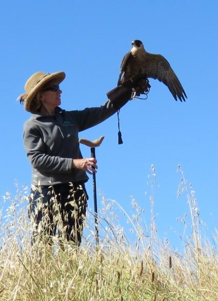 Kisa peregrine falcon lake los carneros eyes in the sky meet your wild neighbor santa barbara audubon