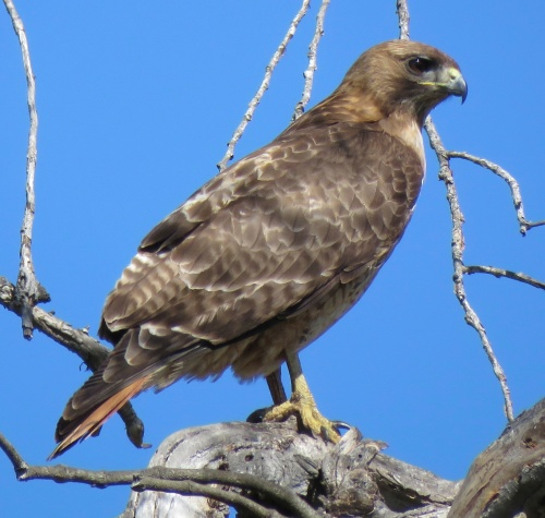 Red-tailed hawk lake los carneros santa barbara goleta