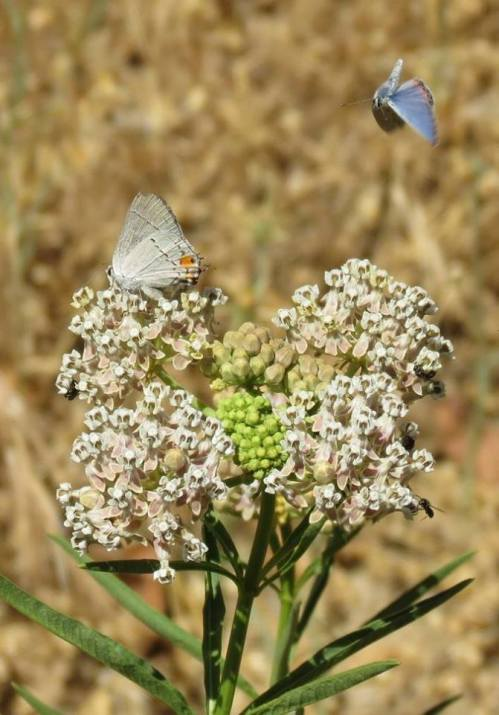 Western tailed blue acmon blue butterfly narrow leaf milkweed landing los padres national forest jameson reservoir juncal road murietta upper santa ynez camp river