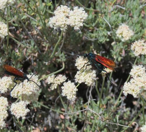 Tarantula Hawks on narrow leaf milkweed Quatal Canyon Cuyama Badlands Los Padres national forest