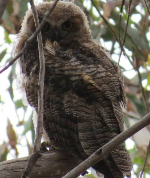 Juvenile Great Horned Owl Hazard Canyon Montaña de oro
