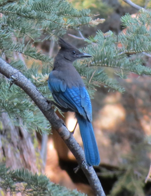 Steller's jay raspberry spring los padres national forest pine mountain