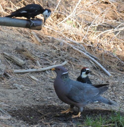 White-headed acorn woodpecker, band-tailed pigeon birding raspberry spring pine mountain hike