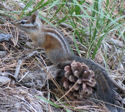 chipmunk pine mountain raspberry spring los padres national forest