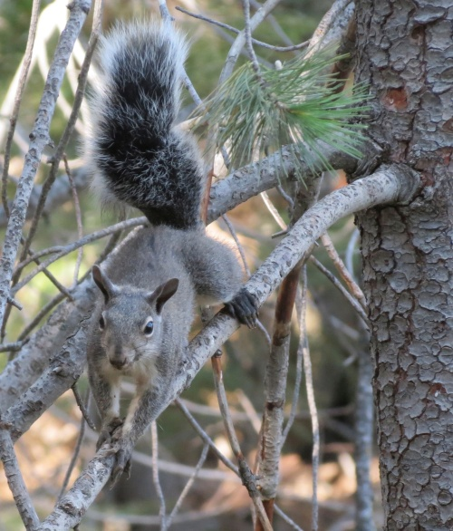 western grey squirrel raspberry spring los padres national forest