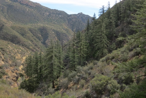 Big cone spruce douglas fir