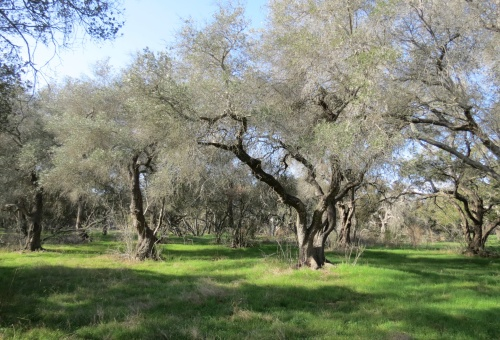 olive mill road trees oak grove Gould Casa Dorinda Peter Bakewell Trail hike Montecito