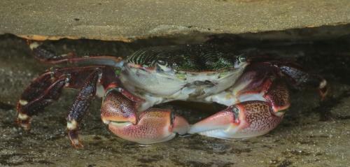striped thin-line shore crab gaviota coast refugio state beach walk hike