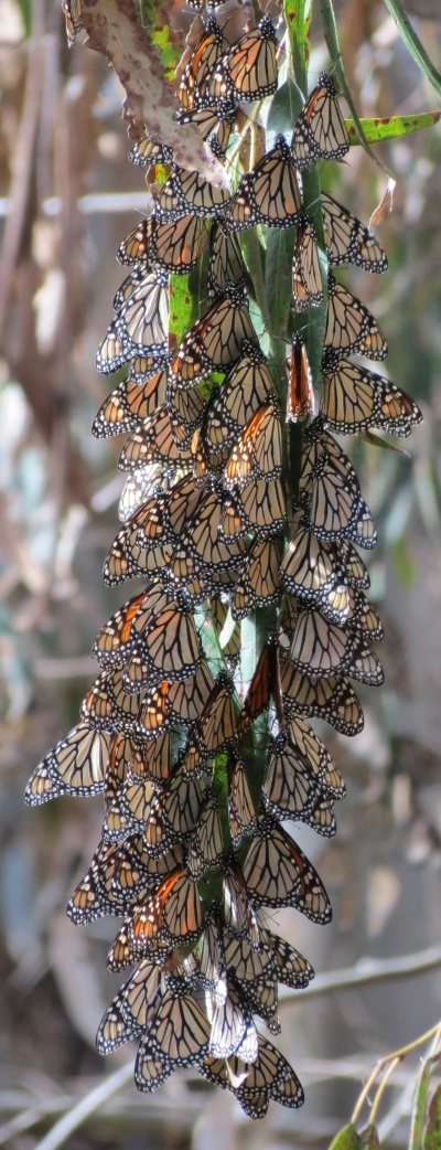 monarch butterflies coronada main grove eucalyptus ellwood mesa goleta hike trail