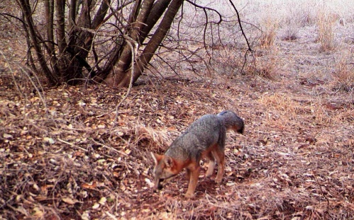 Grey Fox David Lee wildlife camera tracking trapping Ventura River Preserve Ojai Valley Land Conservancy