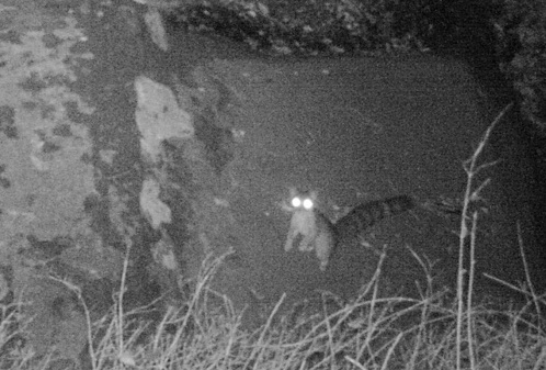 ringtail cat david lee wildlife camera tracking trapping ventura river preserve Ojai Valley land conservancy