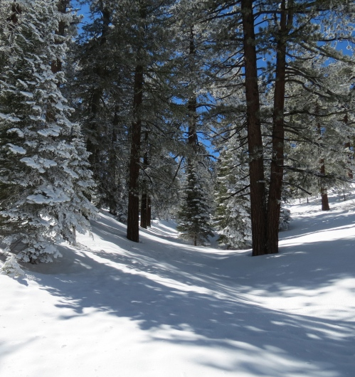 Snow-covered pines Mount Pinos Snowshoe southern california frazier park los padres national forest