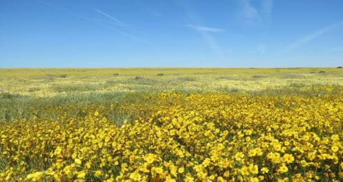 wildflower carrizo plain soda lake hillside daisies