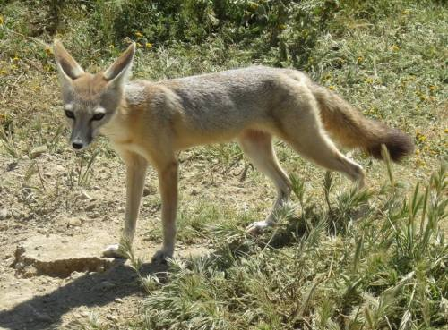 san joaquin kit fox carrizo plain
