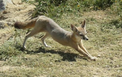 San Joaquin kit fox stretching Carrizo Plain national monument