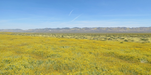 carrizo plain wildflowers super bloom
