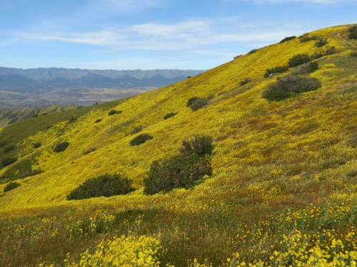 wildflowers Caliente Mountain Range trail hike super bloom carrizo plain