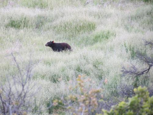 California black bear Santa Cruz Trail Little Pine Spring Los Padres national forest