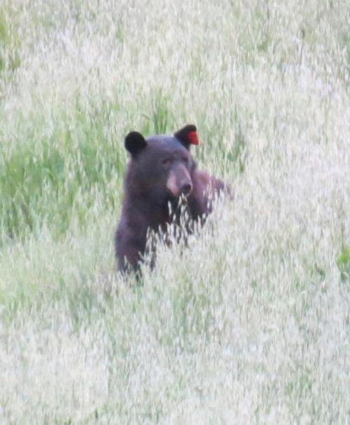 california black bear tag tagged Santa Cruz Trail Los Padres National Forest