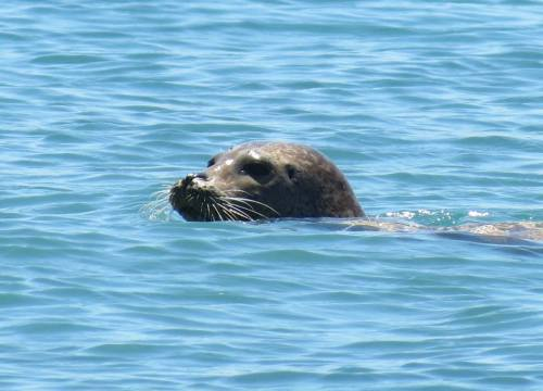 Harbor Seal Forney Cove Fraser Point Western Santa Cruz Island Nature Conservancy Island Packers hike Channel Islands
