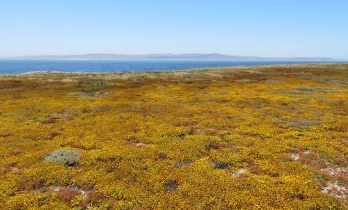 wildflowers super bloom channel islands western santa cruz fraser point hike