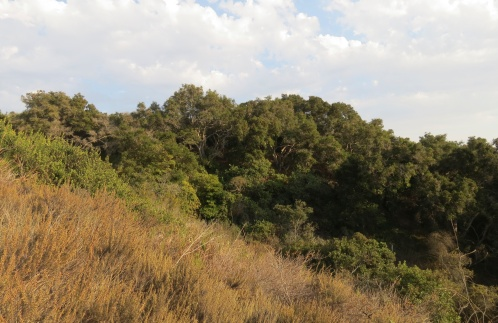 Coast live oak Elings Park South hike hiking trail Mesa Santa Barbara