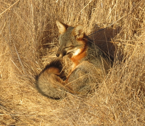 Santa Cruz Island fox napping Channel Islands National Park