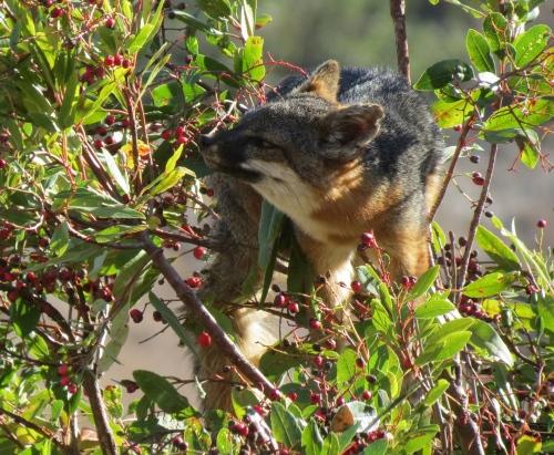 Santa Cruz Island fox climbing tree toyon Channel Islands National Park hike Scorpion Canyon