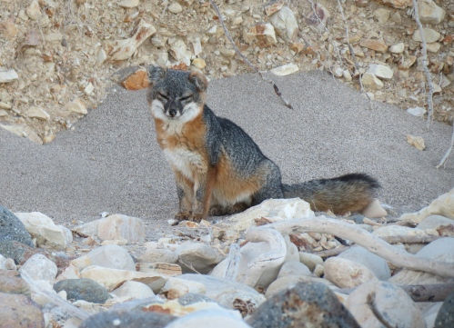 A Santa Cruz Island fox Yellow Banks Channel Islands National Park