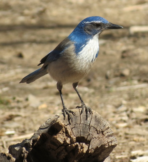 Western scrub jay Manzana Creek trail San Rafael Wilderness Los Padres National Forest Santa Barbara County