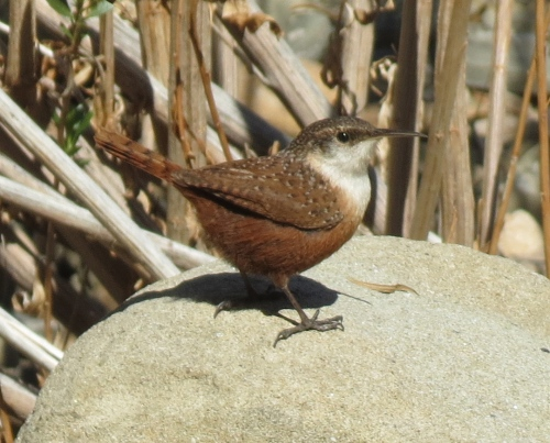 Canyon Wren Manzana Creek Fish Creek San Rafael Wilderness Los Padres National Forest