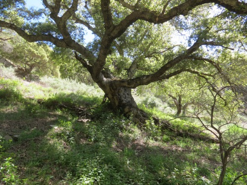 Coast Live Oak Little Falls Canyon Santa Lucia Wilderness Los Padres National Forest