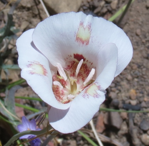 Mariposa lily lion canyon trail los padres national forest