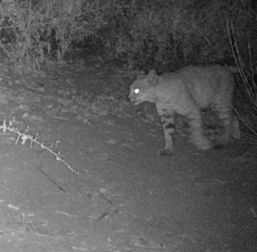 bobcat Lynx rufus wildlife camera tracking parma park santa barbara