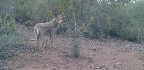 coyote Canis latrans wildlife camera tracking santa barbara