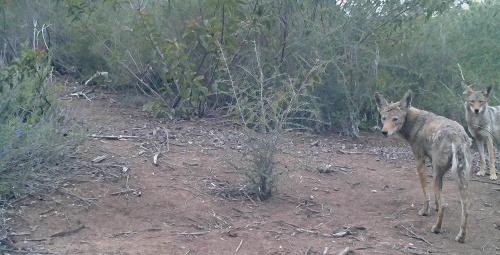coyotes Canis latrans wildlife camera tracking parma park santa barbara