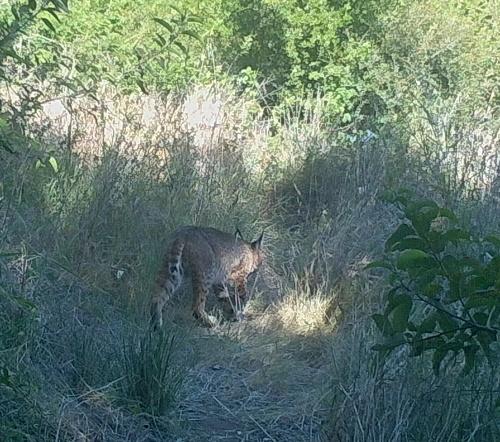 bobcat Lynx rufus wildlife camera tracking parma park santa barbara