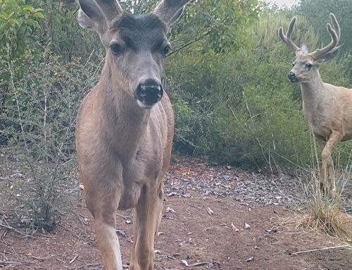 Odocoileus hemionus californicus California mule deer black-tailed mule deer wildlife camera tracking bucks santa barbara
