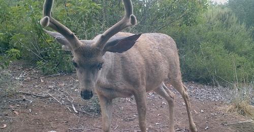 Odocoileus hemionus californicus California mule deer black-tailed mule deer wildlife camera tracking buck santa barbara