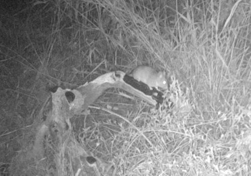 mouse wildlife camera tracking parma park santa barbara
