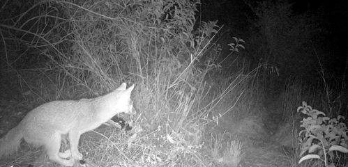 grey fox Urocyon cinereoargenteus wildlife camera tracking parma park santa barbara
