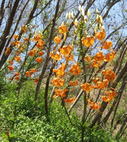Humboldt lily San Ysidro Canyon trail Santa Barbara montecito hike Los Padres National Forest