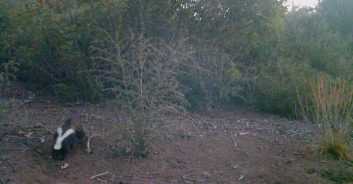 skunk wildlife camera tracking santa barbara