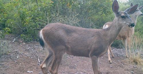 Odocoileus hemionus californicus California mule deer black-tailed mule deer wildlife camera tracking does