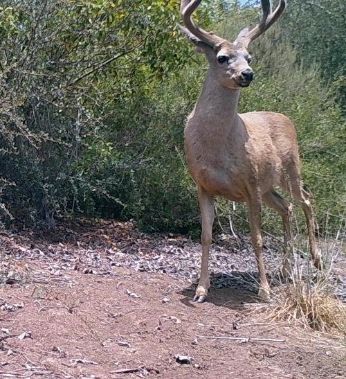 Odocoileus hemionus californicus California mule deer black-tailed mule deer wildlife camera tracking buck