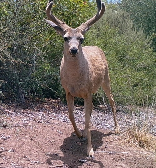 Odocoileus hemionus californicus California mule deer black-tailed mule deer wildlife camera tracking buck