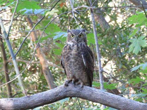 great horned owl fir canyon hike davy brown trail figueroa mountain los padres national forest