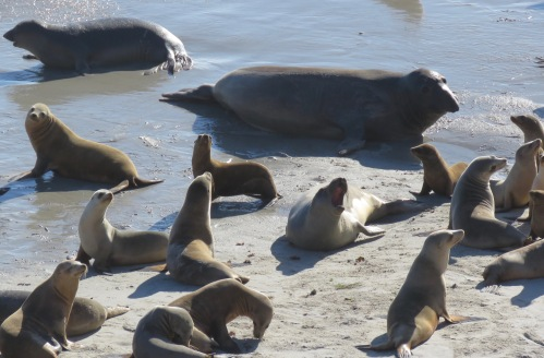 California Sea Lions Northern Elephant Seals Cardwell Point hike San Miguel Island Channel Islands National Park