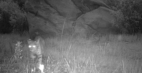 Bobcat deal junction rancho nuevo canyon dick smith wilderness los padres national forest